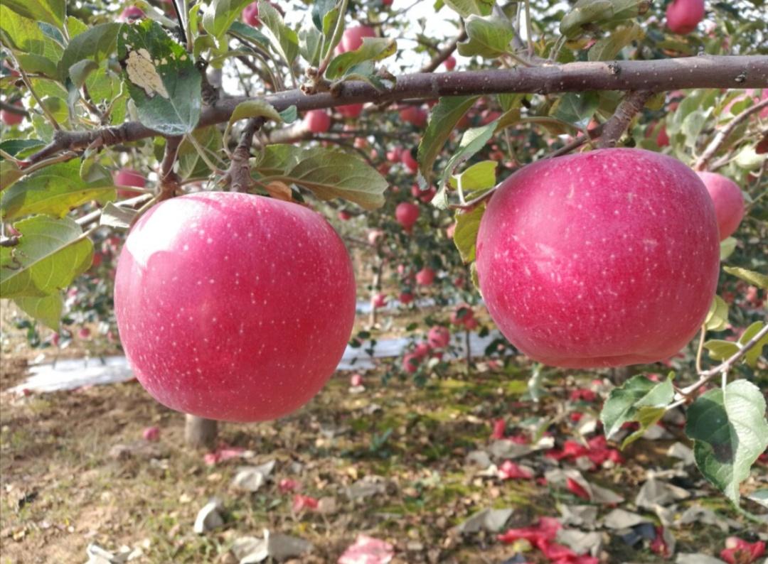 法门寺苹果、黄金蜜桃、琥珀芝麻桃仁