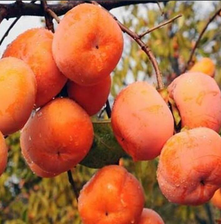 阳丰甜柿子