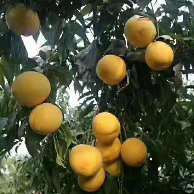 黄金蜜…黄桃
