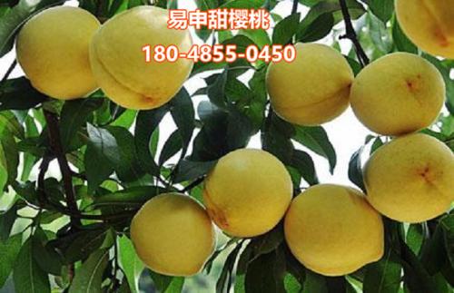 各种桃子苗